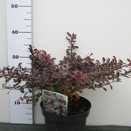 BERBERIS TH. ATROPURPURE NANA